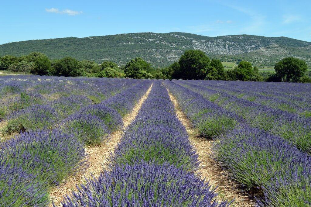 lavender-1482911